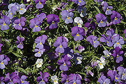 Rain Blue and Purple Pansy (Viola x wittrockiana 'Rain Blue and Purple') at Spruce It Up Garden Centre