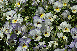 Endurio Blue Yellow with Purple Wing Pansy (Viola cornuta 'Endurio Blue Yellow Purple Wing') at Spruce It Up Garden Centre