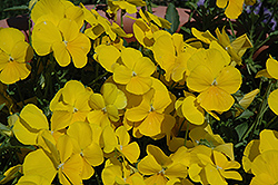 Mimosa Yellow Pansy (Viola 'Mimosa Yellow') at Spruce It Up Garden Centre