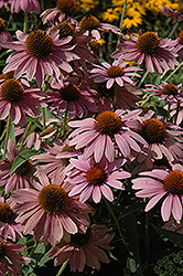 Elton Knight Coneflower (Echinacea purpurea 'Elton Knight') at Spruce It Up Garden Centre