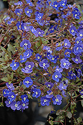Georgia Blue Speedwell (Veronica peduncularis 'Georgia Blue') at Spruce It Up Garden Centre