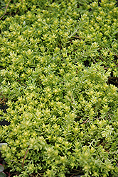 Golden Moss Stonecrop (Sedum acre 'Aureum') at Spruce It Up Garden Centre