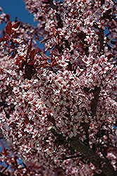 Thundercloud Plum (Prunus cerasifera 'Thundercloud') at Spruce It Up Garden Centre