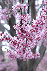 Eastern Redbud (Cercis canadensis) at Spruce It Up Garden Centre