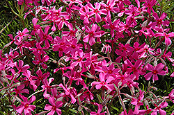 Scarlet Flame Moss Phlox (Phlox subulata 'Scarlet Flame') at Spruce It Up Garden Centre