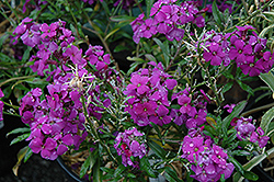 Poem Lilac Wallflower (Erysimum 'Poem Lilac') at Spruce It Up Garden Centre