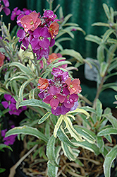 Variegated Wallflower (Erysimum linifolium 'Variegatum') at Spruce It Up Garden Centre