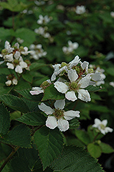 Triple Crown Blackberry (Rubus allegheniensis 'Triple Crown') at Spruce It Up Garden Centre
