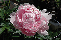 Pillow Talk Peony (Paeonia 'Pillow Talk') at Spruce It Up Garden Centre