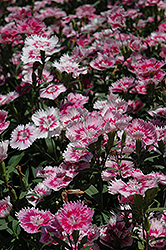 Elation Pink Pinks (Dianthus 'Elation Pink') at Spruce It Up Garden Centre
