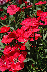 Elation Coral Pinks (Dianthus 'Elation Coral') at Spruce It Up Garden Centre