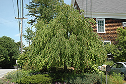 Weeping Katsura Tree (Cercidiphyllum japonicum 'Pendulum') at Spruce It Up Garden Centre