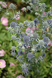Flat Sea Holly (Eryngium planum) at Spruce It Up Garden Centre