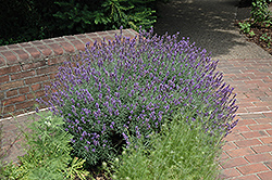 English Lavender (Lavandula angustifolia) at Spruce It Up Garden Centre