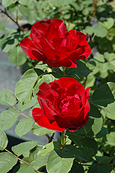 Emily Carr Rose (Rosa 'Emily Carr') at Spruce It Up Garden Centre