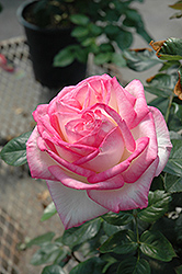 Princesse De Monaco Rose (Rosa 'Princesse De Monaco') at Spruce It Up Garden Centre