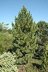 Blue Swiss Stone Pine (Pinus cembra 'Glauca') at Spruce It Up Garden Centre