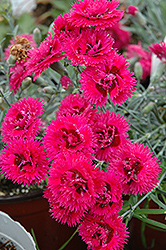 Double Star Starlette Pinks (Dianthus 'Double Star Starlette') at Spruce It Up Garden Centre