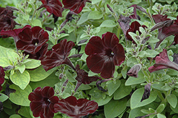 Black Satin Petunia (Petunia 'Black Satin') at Spruce It Up Garden Centre