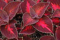 ColorBlaze® Kingswood Torch Coleus (Solenostemon scutellarioides 'Kingswood Torch') at Spruce It Up Garden Centre