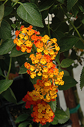 Spreading Sunset Lantana (Lantana 'Monet') at Spruce It Up Garden Centre