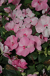 Show Off Pink Impatiens (Impatiens 'Show Off Pink') at Spruce It Up Garden Centre