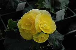 Blitz Begonia (Begonia 'Blitz') at Spruce It Up Garden Centre