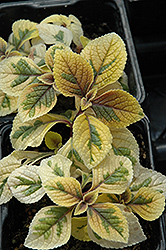 Troy's Gold Swedish Ivy (Plectranthus 'Troy's Gold') at Spruce It Up Garden Centre