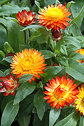 Mohave Autumn Bronze Strawflower (Bracteantha bracteata 'Mohave Autumn Bronze') at Spruce It Up Garden Centre