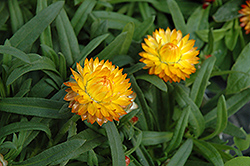 Basket Bon Bon Strawflower (Bracteantha bracteata 'Basket Bon Bon') at Spruce It Up Garden Centre