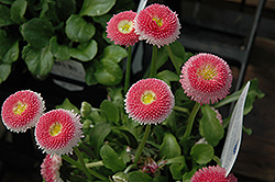 Bellisima Pink English Daisy (Bellis perennis 'Bellissima Pink') at Spruce It Up Garden Centre