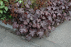 Stormy Seas Coral Bells (Heuchera 'Stormy Seas') at Spruce It Up Garden Centre