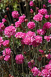 Red-leaved Sea Thrift (Armeria maritima 'Rubrifolia') at Spruce It Up Garden Centre