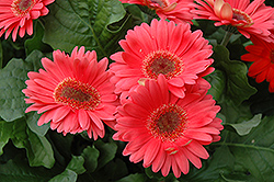 Coral Gerbera Daisy (Gerbera 'Coral') at Spruce It Up Garden Centre