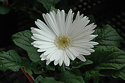 White Gerbera Daisy (Gerbera 'White') at Spruce It Up Garden Centre