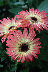 Pink and Yellow Gerbera Daisy (Gerbera 'Pink and Yellow') at Spruce It Up Garden Centre