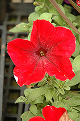 Madness Red Petunia (Petunia 'Madness Red') at Spruce It Up Garden Centre