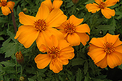 Disco Orange Marigold (Tagetes patula 'Disco Orange') at Spruce It Up Garden Centre