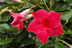 Sun Parasol® Carmine King Mandevilla (Mandevilla 'Sun Parasol Carmine King') at Spruce It Up Garden Centre