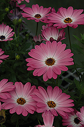 Summertime Pink Charme African Daisy (Osteospermum 'Summertime Pink Charme') at Spruce It Up Garden Centre
