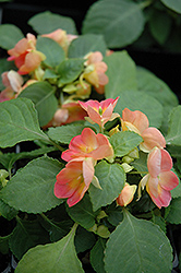 Fusion Infrared Apricot Impatiens (Impatiens 'Fusion Infrared Apricot') at Spruce It Up Garden Centre