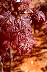 Glowing Embers Japanese Maple (Acer palmatum 'Glowing Embers') at Spruce It Up Garden Centre