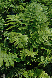 Shaggy Shield Fern (Dryopteris cycadina) at Spruce It Up Garden Centre