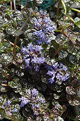 Mini Crisp Red Bugleweed (Ajuga reptans 'Mini Crisp Red') at Spruce It Up Garden Centre