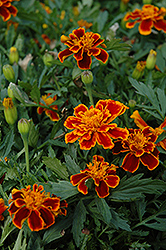 Durango Flame Marigold (Tagetes patula 'Durango Flame') at Spruce It Up Garden Centre