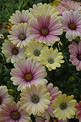 Summertime Sunrise African Daisy (Osteospermum 'Summertime Sunrise') at Spruce It Up Garden Centre
