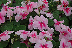 Patchwork Pink Shades Impatiens (Impatiens 'Patchwork Pink Shades') at Spruce It Up Garden Centre