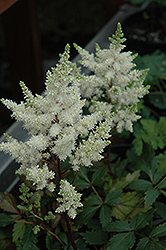 Younique White™ Astilbe (Astilbe 'Verswhite') at Spruce It Up Garden Centre