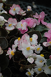 Bada Boom® Pink Begonia (Begonia 'Bada Boom Pink') at Spruce It Up Garden Centre