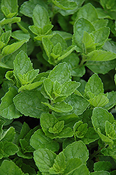 Spearmint (Mentha spicata) at Spruce It Up Garden Centre